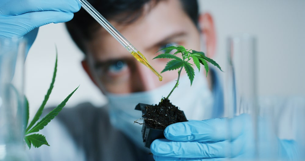 Scientist Analyzing Cannabis Plant